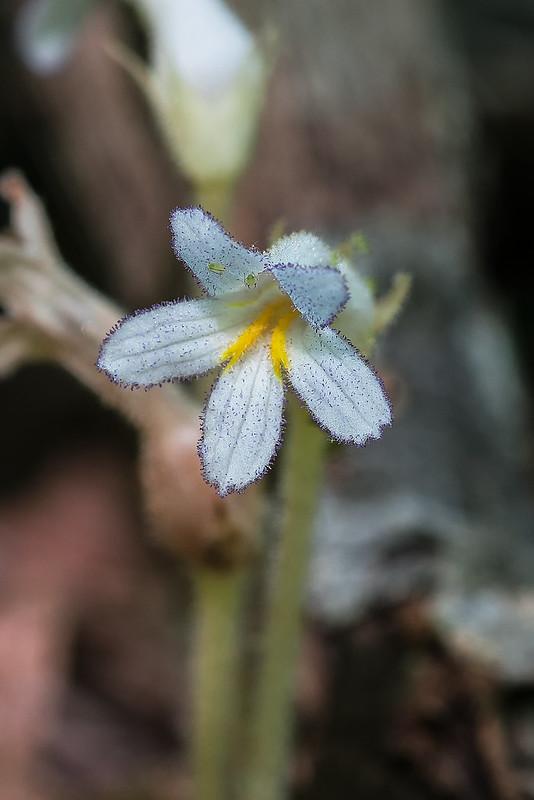 One-flowered Broomrape