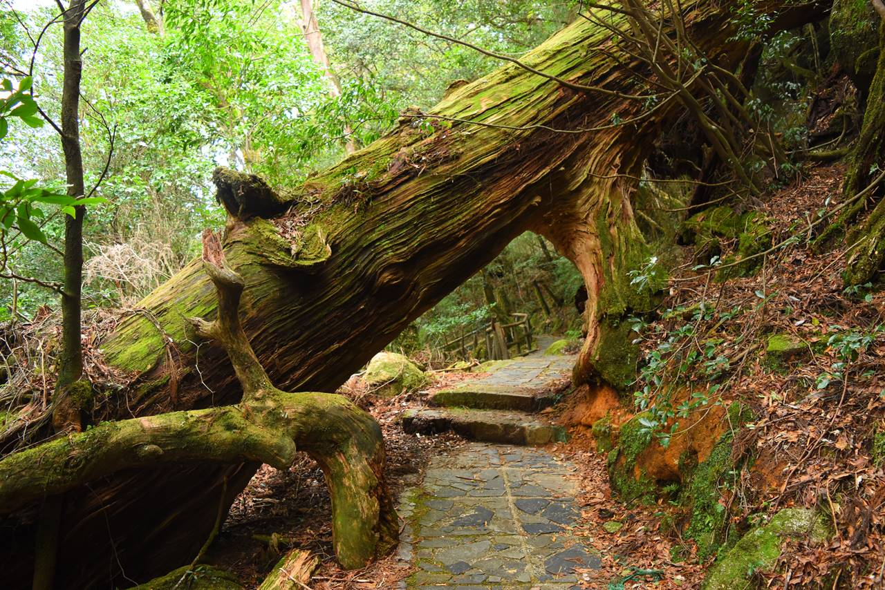 ヤクスギランド・くぐり杉
