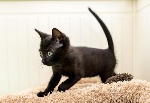 Bombón, gatita negra monísima y dulce esterilizada, nacida en Marzo´18 en adopción. Valencia. RESERVADA. 28335841138_29996f686b