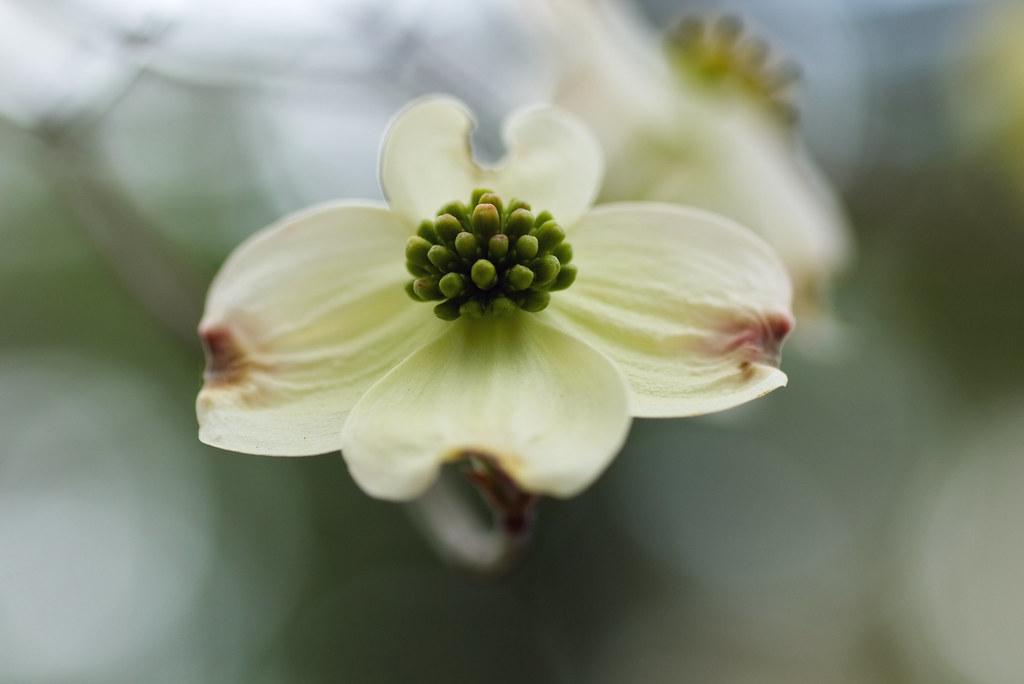 White Dogwood Flower Bokeh Brandon Gerringer Flickr