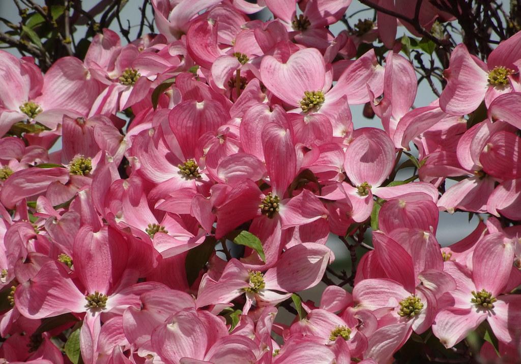 Close Up Of Stellar Pink Flowering Dogwood 3 Stellar Pi Flickr
