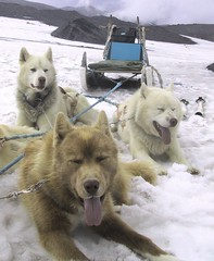Dogsledding dogs taking a rest on an Iceland glacier | by billadler