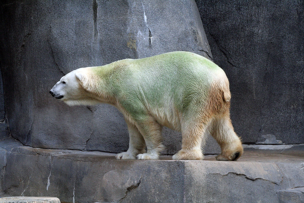 Aussie the Green Polar Bear | Microscopic Algae gets into ...