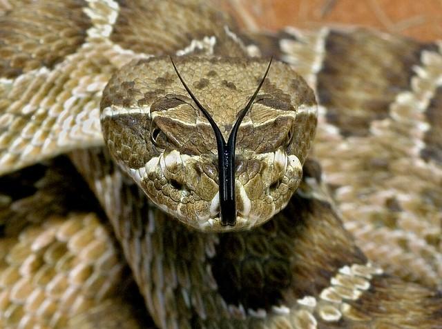 Rattlesnake, horned