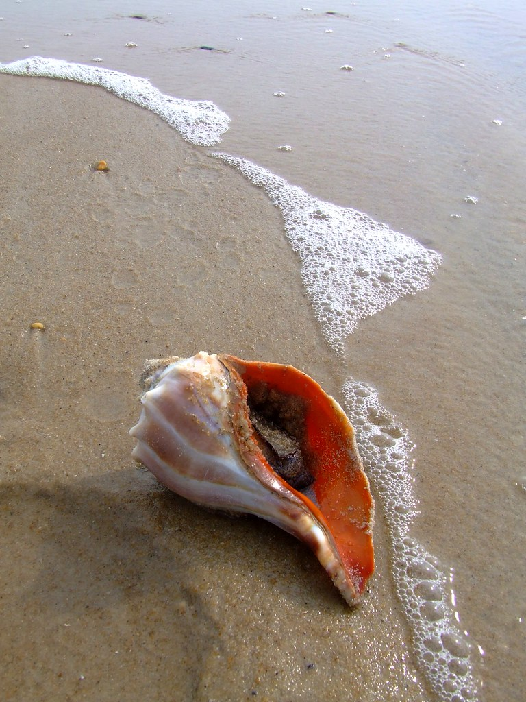 Conch Shell 2 I Found Two Of These This One Was Still Occ Flickr