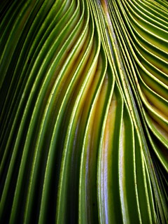 chinese fan palm | by *omnia*