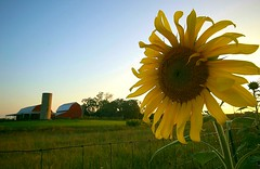 sunflower and barn | by oakwood