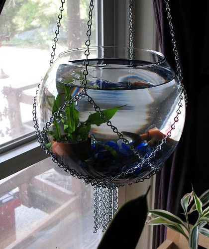 My hanging goldfish bowl my hanging goldfish bowl in a for Unique betta fish tanks