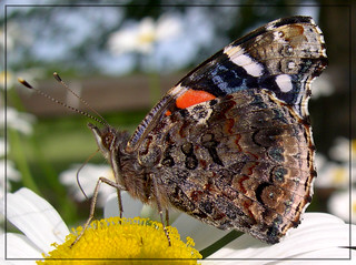 Red Admiral | by sojourner photography