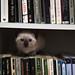 Um gatinho bibliófilo [A well-read kitten]