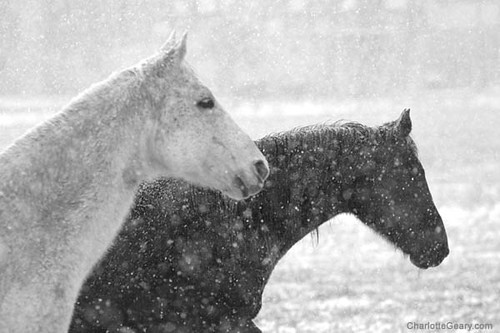 white horse and black horse in snow. Black Bedroom Furniture Sets. Home Design Ideas