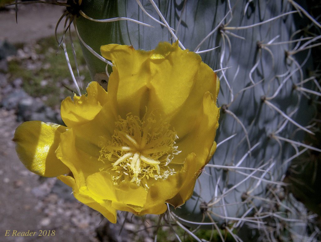 Ode To A Yellow Cactus Flower How Anything So Prickly An Flickr