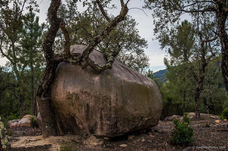 Alcornoque abrazando una roca