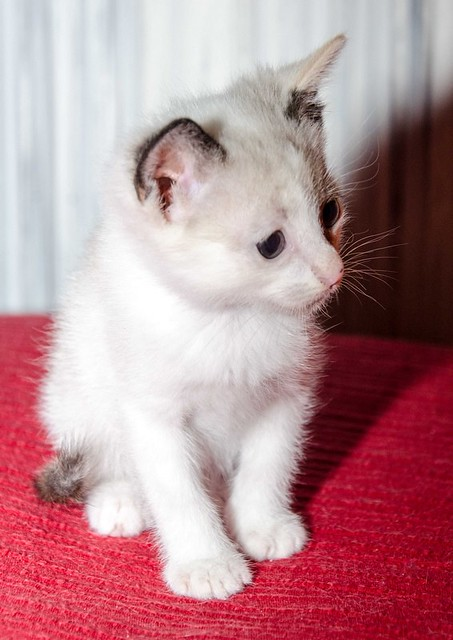 Bora, gatita Siamesa tricolor traviesa y monísima esterilizada, nacida en Marzo´18, en adopción. Valencia. RESERVADA. 41071639625_2697ae8f5f_z