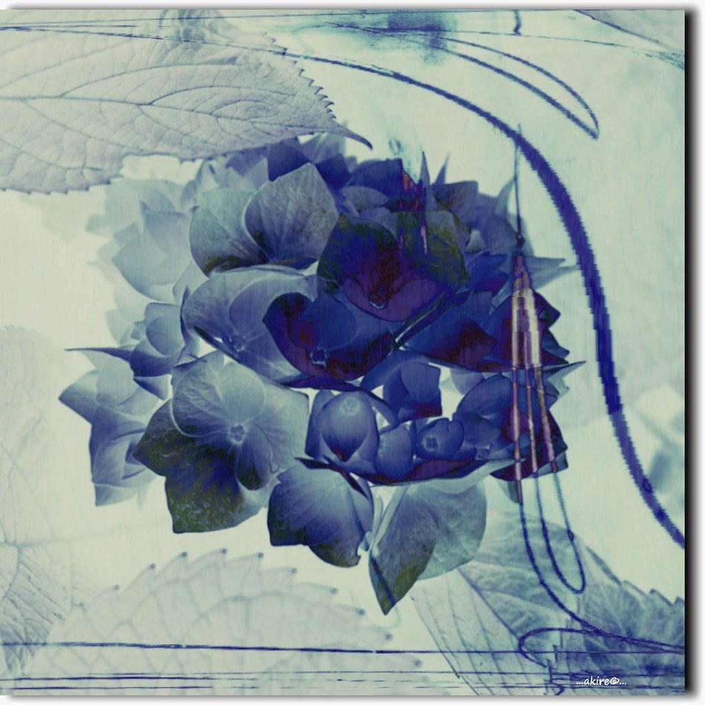 Blaue Hortensie Erika Kluck Flickr