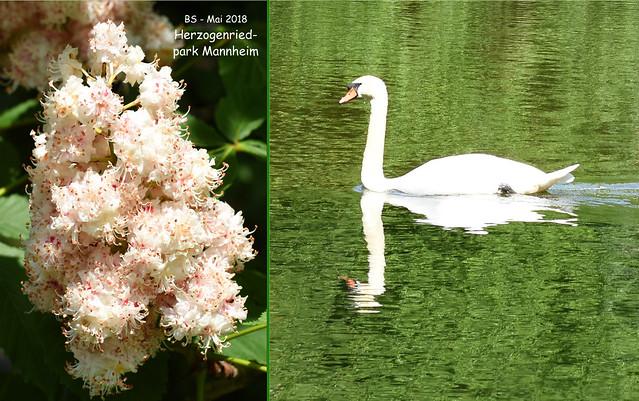 Mai 2018 - Mannheim Herzogenriedpark - Blumen, Bauerngarten, See ... Foto: Brigitte Stolle