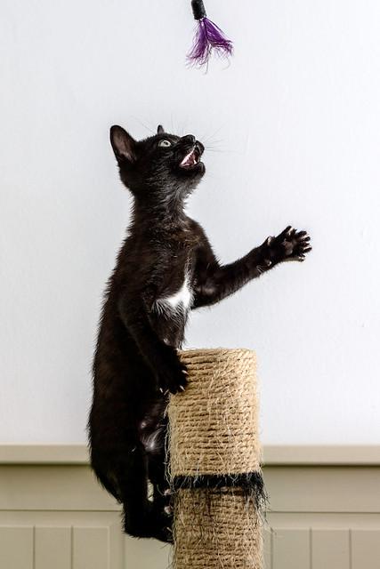 Bombón, gatita negra monísima y dulce esterilizada, nacida en Marzo´18 en adopción. Valencia. RESERVADA. 27337570267_2bfddb957b_z