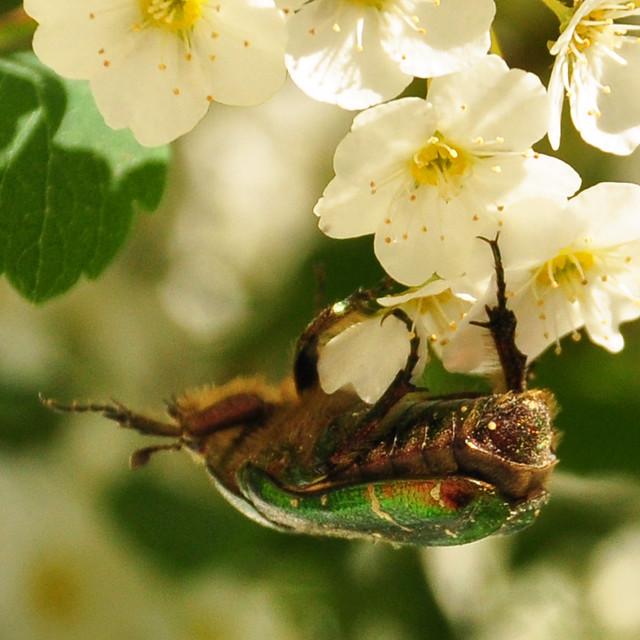 Mai 2018 ... Großer Rosenkäfer aus der Familie der Blatthornkäfer ... ein Verwandter des Maikäfers ... Foto: Brigitte Stolle, Mannheim
