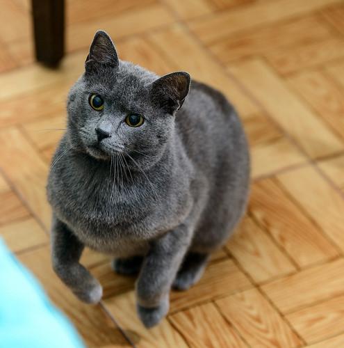 Cartujo, gato azul de ojos cobre tímido y juguetón esterilizado, nacido en Febrero´14, en adopción. Valencia. ADOPTADO. 42162578312_9f7eaa55c4