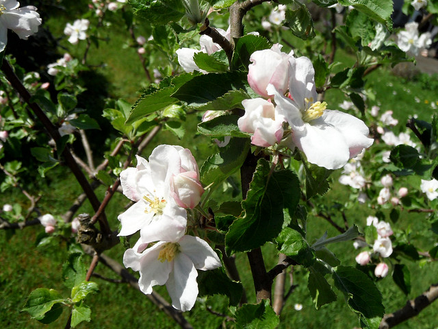 Nahaufnahmen von Blüten eines Apfelbaums
