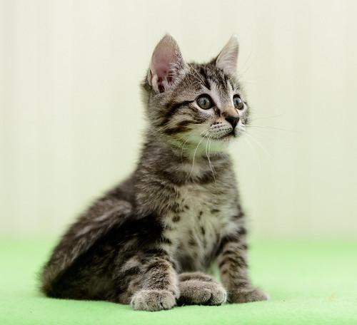 Bonnie, gatita parda monísima y muy lista esterilizada, nacida en Marzo´18, en adopción. Valencia. 42208484421_dc074a9f5e