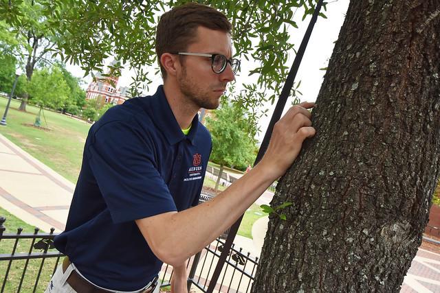 Alex Hedgepath examines the Auburn Oak on College Street