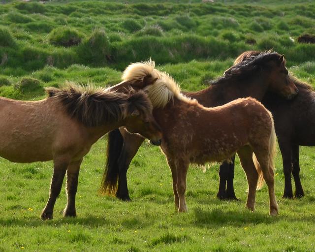 Caballos islandeses en una pradera verde