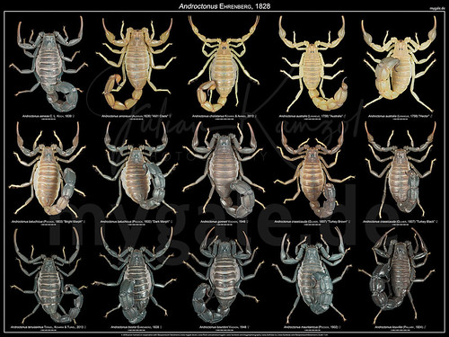 The Androctonus Poster | by mygale.de