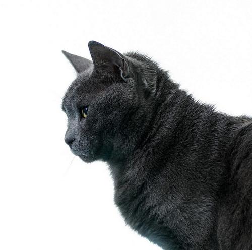 Cartujo, gato azul de ojos cobre tímido y juguetón esterilizado, nacido en Febrero´14, en adopción. Valencia. ADOPTADO. 40401423520_ac971c8718