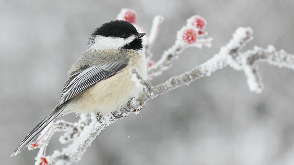 North American songbird, the Black-capped chickadee
