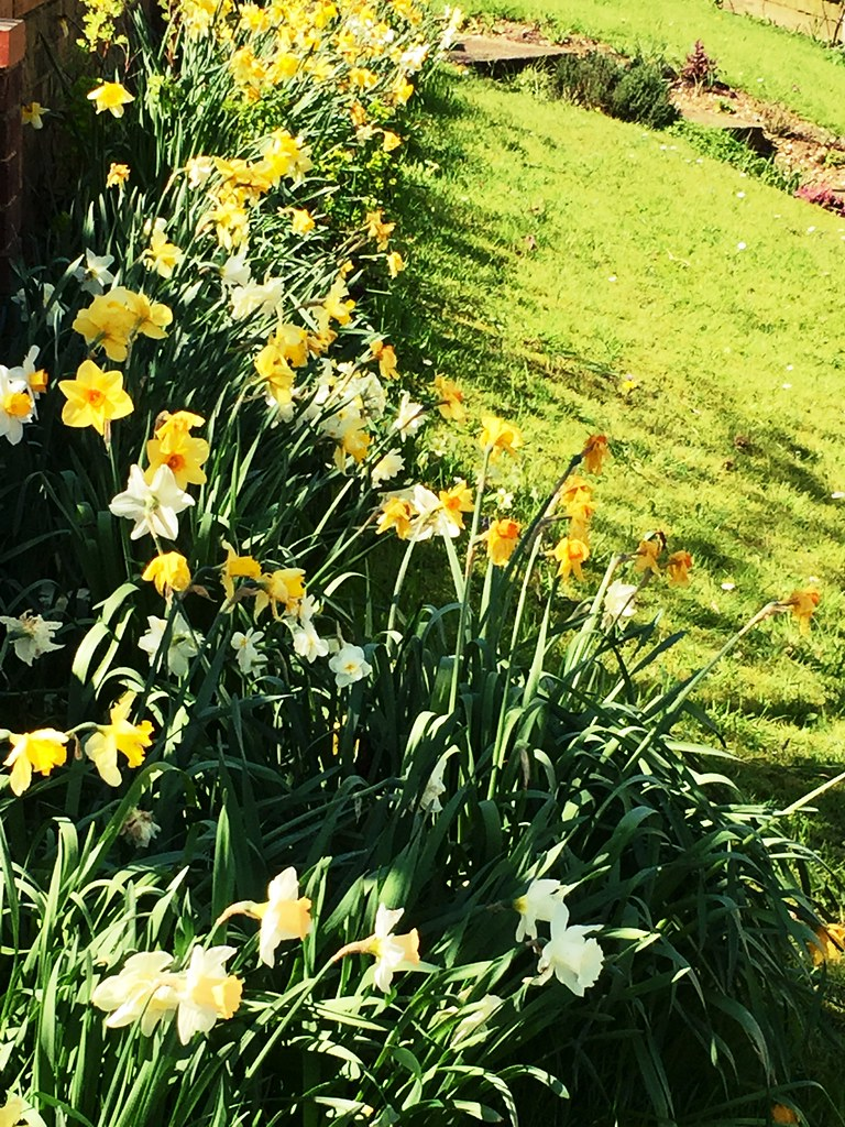 Spring Flowers In England 2018 Jonquils And Daffodils Wer Flickr