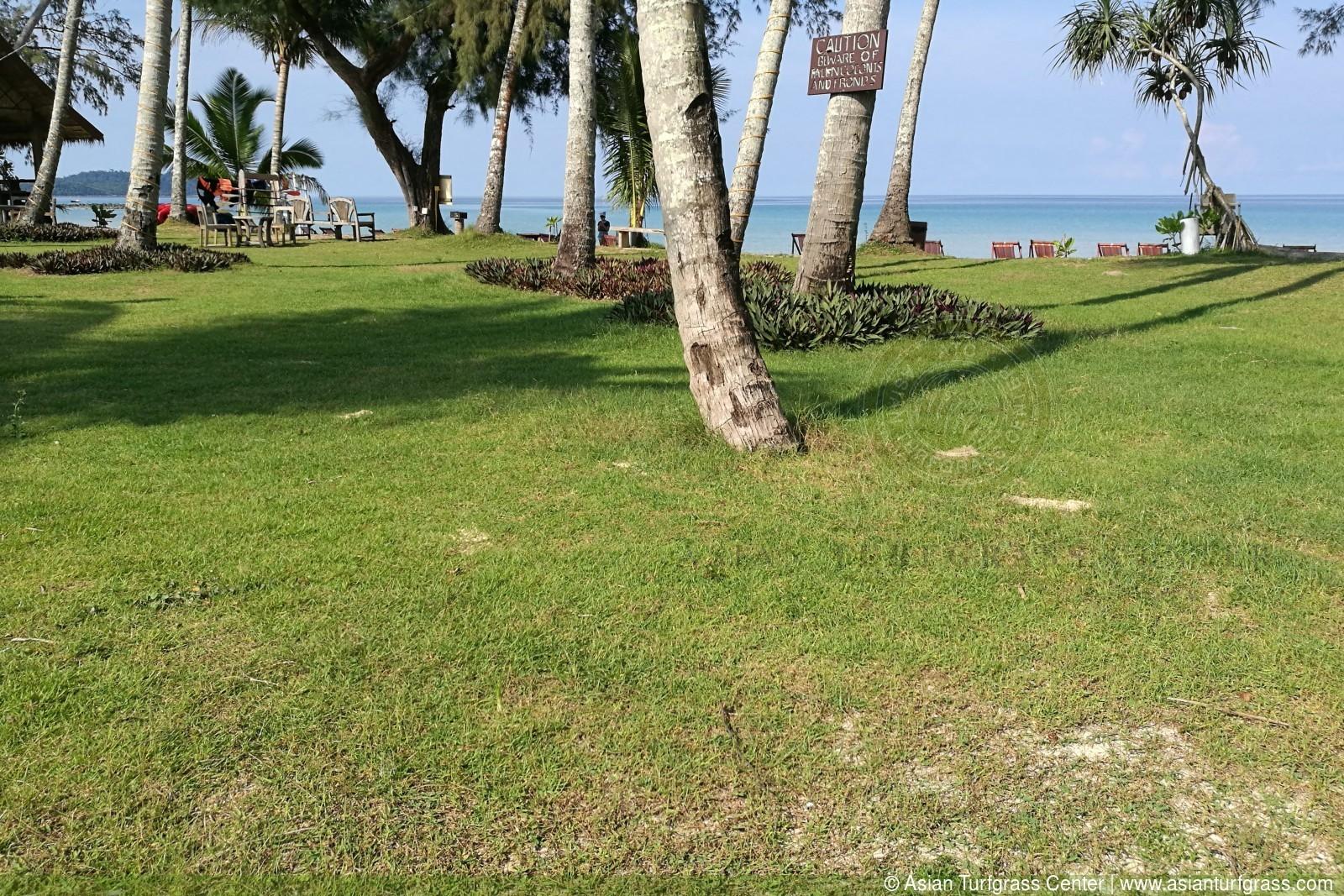 image of seashore paspalum lawn with weeds at Ko Kood, Thailand