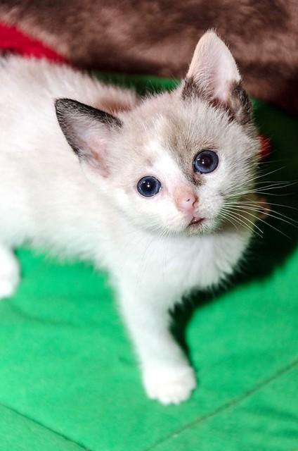Bora, gatita Siamesa tricolor traviesa y monísima esterilizada, nacida en Marzo´18, en adopción. Valencia. RESERVADA. 41252480614_d34ec286f2_z