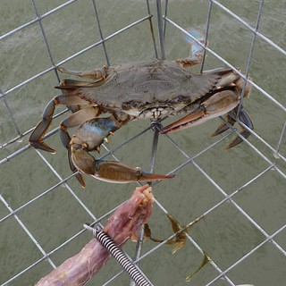 Photo of blue crab in cage