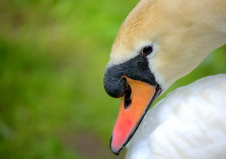 Picture of a swan | by Tony Worrall