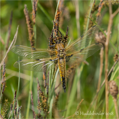 Four Spotted Chaser | by Huddsbirder
