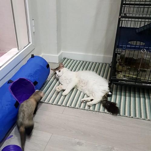 Aquiles, gato cruce Van Turco noble y buenísimo esterilizado, nacido en Enero´16, en adopción. Valencia. ADOPTADO. 27427508487_32ceb0ca6a