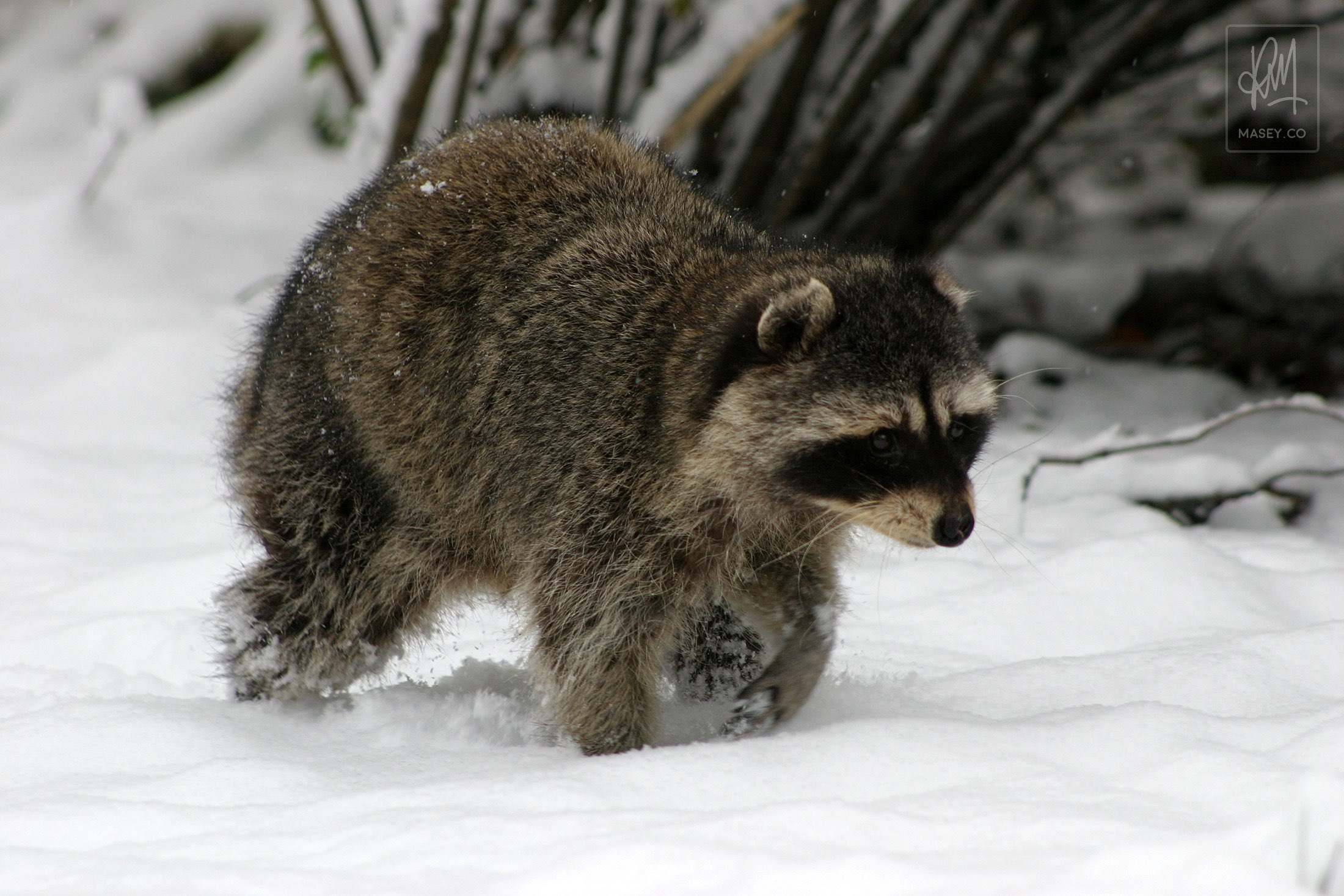 A snow covered Stanley Park raccoon, Vancouver