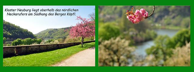 Stift Neuburg Kloster Heidelberg Neckar Natur Kultur April 2018 Foto(s): Brigitte Stolle Japanische Blütenkirsche