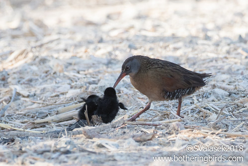Virginia Rails | by Bothering Birds