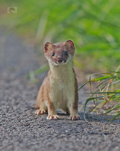 IMG_stoat | by Weja 68