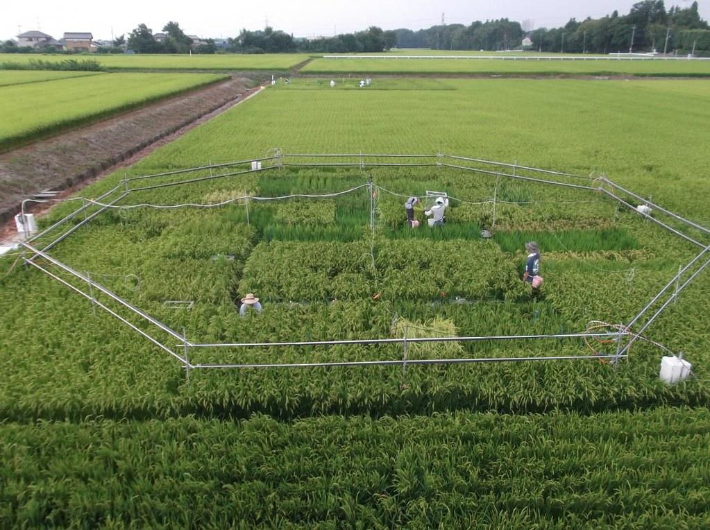 圖片來源:Dr. Toshihiro HASEGAWA (National Agriculture and Food Research Organization of Japan)
