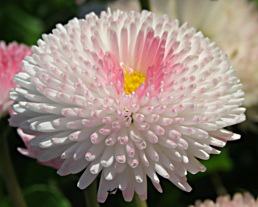 Pink Pom Pom Pub Flowers Kim Reubins Flickr