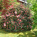 Start der Rhododendronblüte