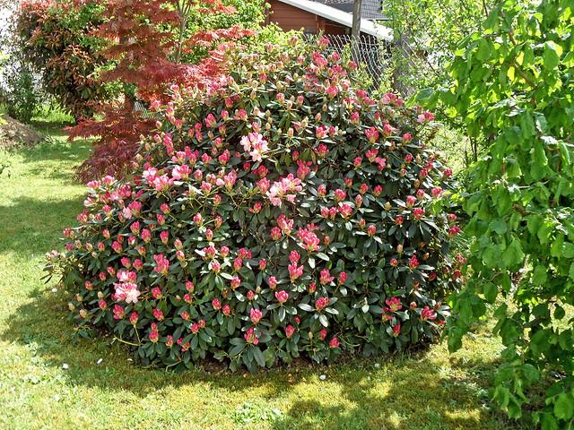 Großer Rhododendronstrauch voller rosafarbener Blütenknospen