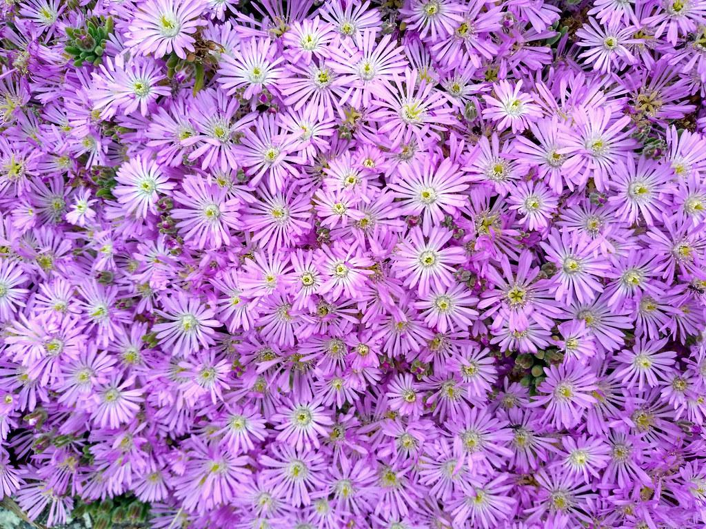 Light Purple Flowers John B Flickr