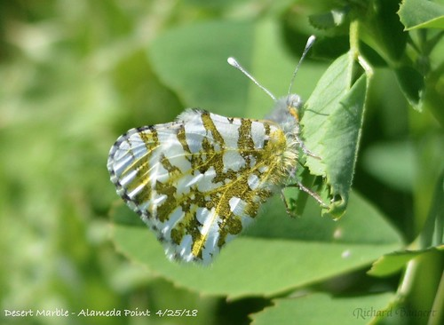 Desert Marble butterfly | by Alameda Point Enviro