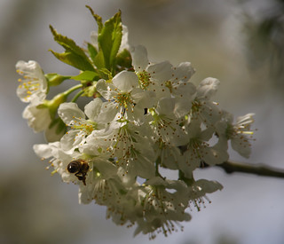 Bees and blossom [PK1_4607 c-l-s] | by drofmit4108