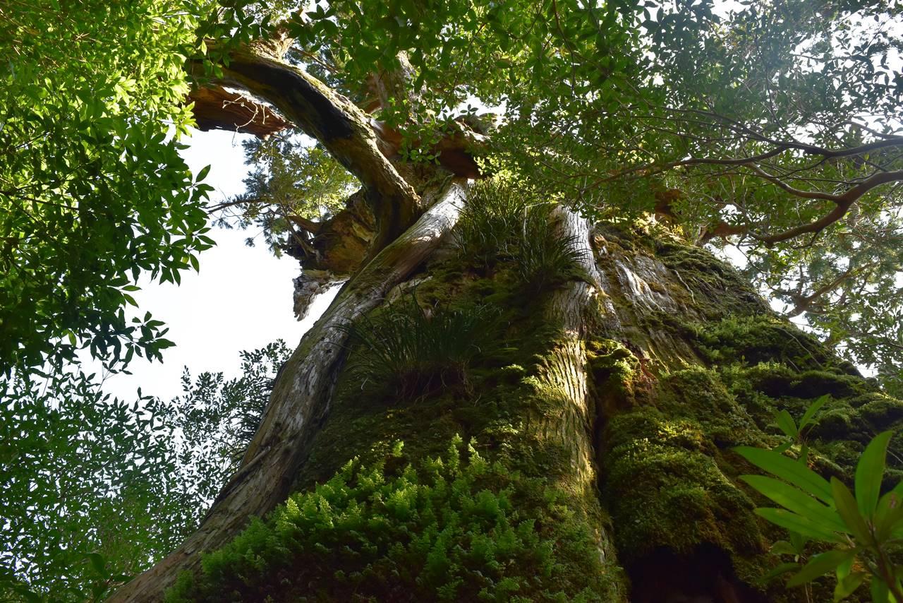 モッチョム太郎の大木
