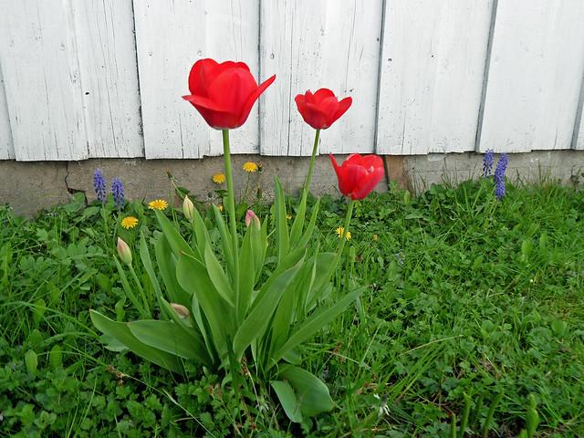 Knallrote Tulpen  auf der Weise vor einer Holzwand